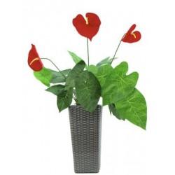 EUROPALMS Anthurium, 70cm